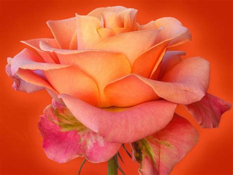 Fantastic Flowers For You All by Orange Beautiful Flower Flowers