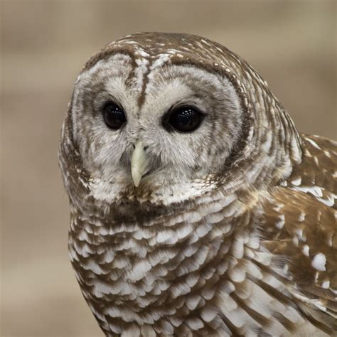L Owl by Barred Owl Judy Lindo Photography