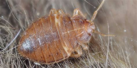 different types of bed bugs bed bugs becoming two different species business insider