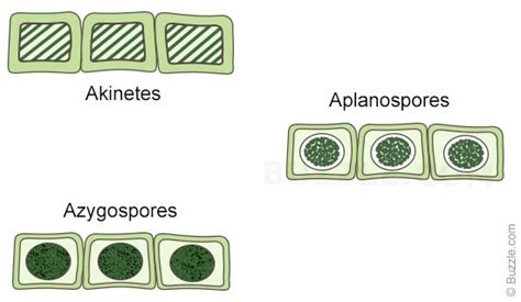 spirogyra reproduction diagram image gallery spirogyra reproduction