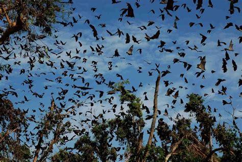 the kasanka bat migration africa geographic