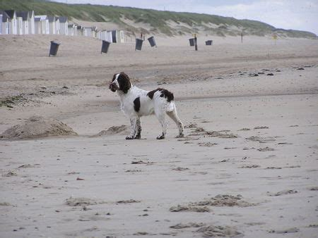 imagenes de english springer spaniel english springer spaniel foto 38880 hundund de