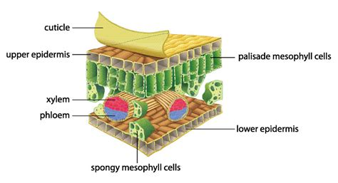 leaf palisade cell diagram worksheet from edplace
