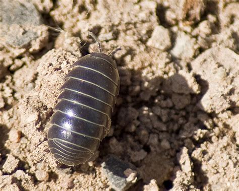 pill pugs the secret of pill bugs the infinite spider