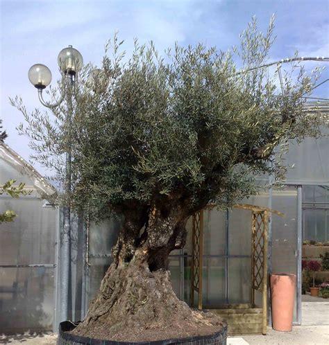 ulivi in vaso sandro gervasi piante e fiori azienda florovivaista