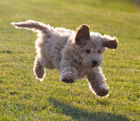 doodle puppy 25 best ideas about labradoodle puppies on
