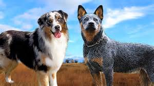 Australian shepherd vs australian cattle dog 101 youtube