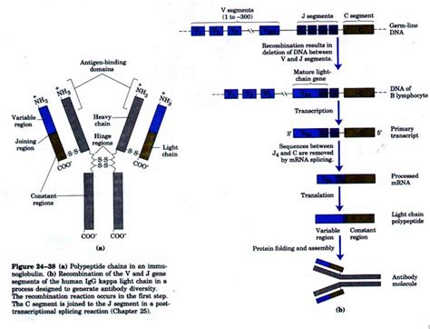 kappa and lambda light chains chapter 24 dna metabolism