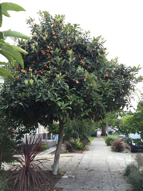 trees for a guide to fruit foraging in the east bay berkeleyside