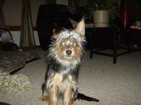 chorkie haircut styles chorkie cuts hairstylegalleries com