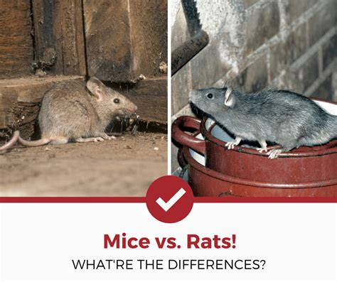 rats vs mice what re the differences pest strategies
