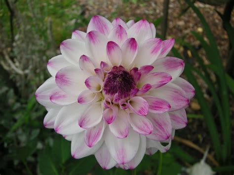 putting the dahlias away for winter that bloomin garden