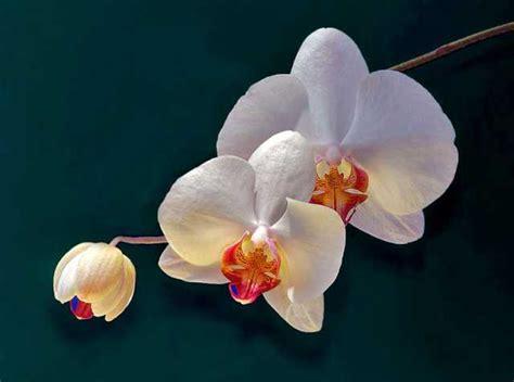 povia fiori il fiore tgevents news