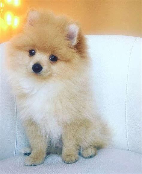 king pomeranian best 25 chien nain ideas on chien spitz nain chien pomeranien and chiens