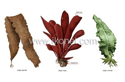 imagenes de algas pardas verdes y rojas reino vegetal gt alga gt ejemplos de algas imagen