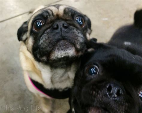 pug begging pug visits his grumble this pug