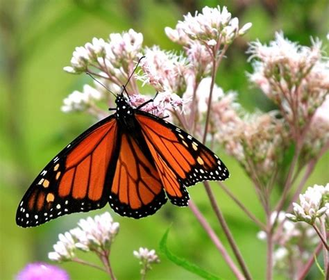 david suzuki how to save the monarch butterfly ecowatch
