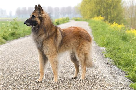 belgian breeds information the belgian tervuren information breeds picture