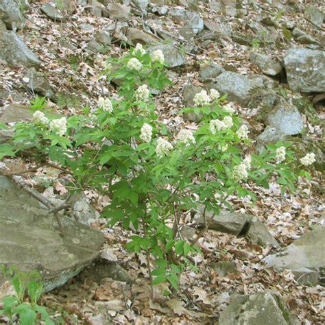 sambucus racemosa red elderberry go botany