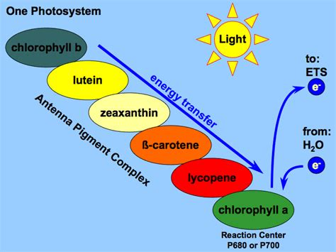 The Major Light Absorbing Pigment In Green Plant Photosynthesis Is by Starksbiology Antenna Pigments