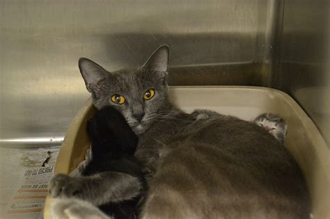 broward shelter broward shelters seek help to save cats from hoarding situation humane society of