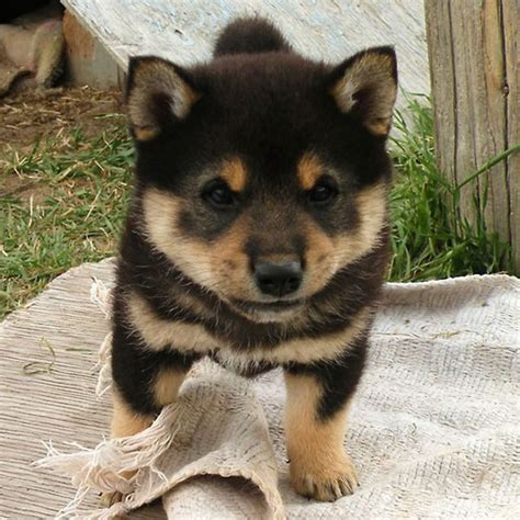 puppy shiba inu and now ridiculously adorable shiba inu puppies