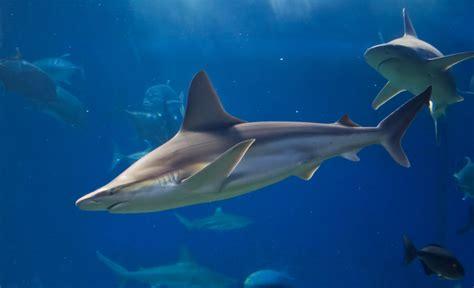 Carcharhinidae - requiem sharks gallery | Wildlife Journal ...