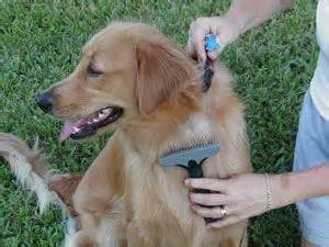 how to care for a golden retriever 139 best images about golden retriever grooming on