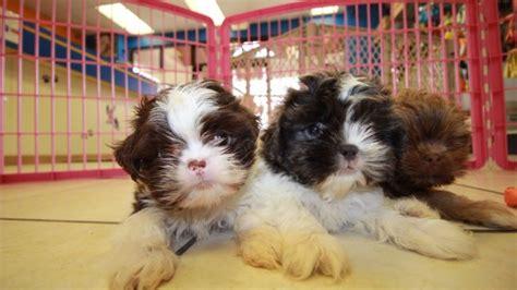 shih tzu puppies for sale in ga unique blue shih tzu puppies for sale in ga at puppies for sale local breeders