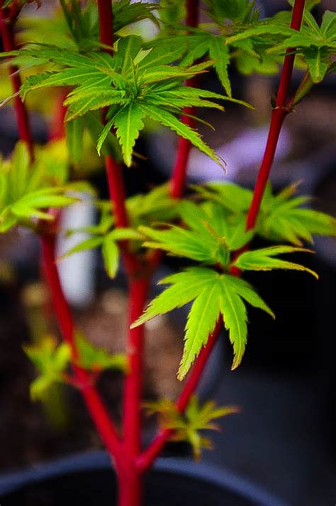 pacific fire vine maple  sale  tree center