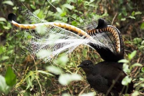 lyrebird beautiful moving and 0007501897 lyrebirds australian birds more bird australian birds and australian animals ideas