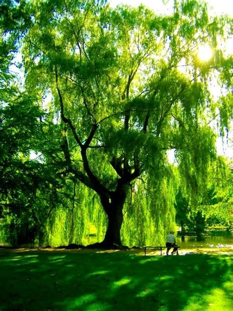 anna s art blog wonders of the weeping willow
