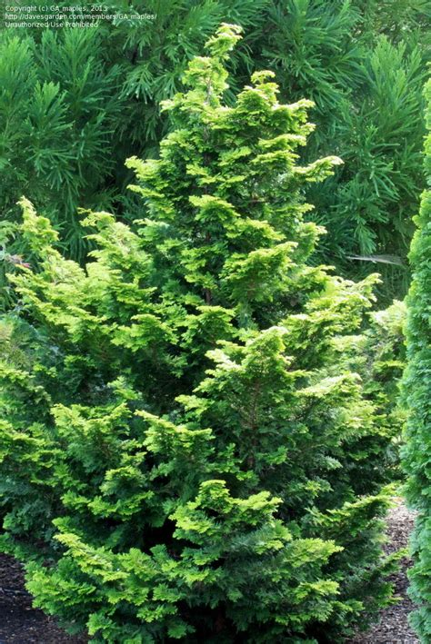plantfiles pictures hinoki false cypress confucius