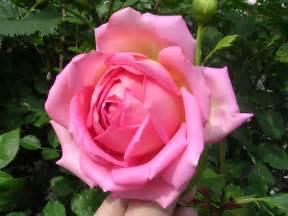 Roses By David File David Jubilee Celebration Jpg Wikimedia