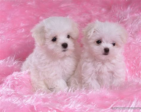 baby and puppy pictures 1600 1200 fluffy maltese puppy on fluffy blankets 19 wallcoo net