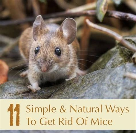ways to get rid of mice creative ideas