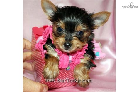 teacup yorkie puppies for sale california teacup yorkie puppies for sale in california design bild