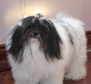 havanese care 186 best images about havanese on coton de tulear bearded collie