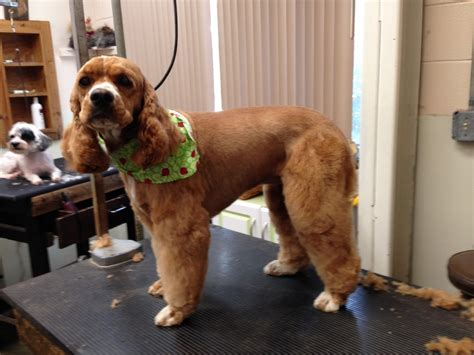 cocker spaniel puppy cut grooming photo library pet motel and salon
