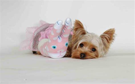 yorkie puppies wallpaper terrier puppy wallpaper 67810