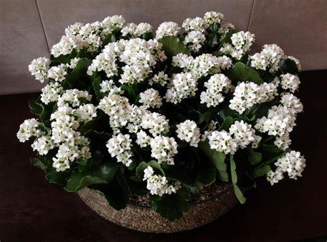 wallpaper kalanchoe flowers white indoor