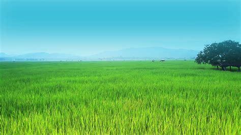 stock video  landscape  rice farm  thailand
