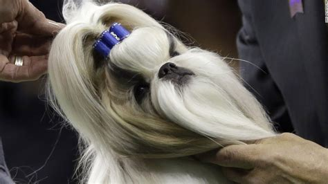 shih tzu show dogs patty hearst s nabs win at westminster cnn
