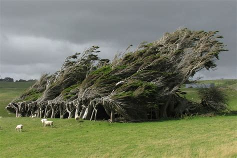 windswept trees in the brute slope point new zealand