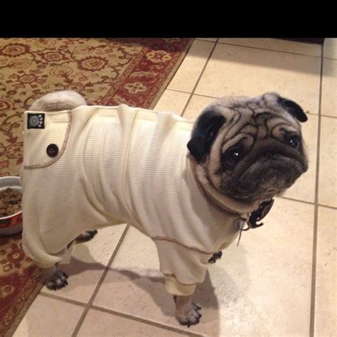 pug in pajamas the 47 best images about pets in pyjamas on cats light my and animals