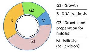 Biology Description by G1 And G2 What Happens In The Growth Phases Of The Cell Cycle
