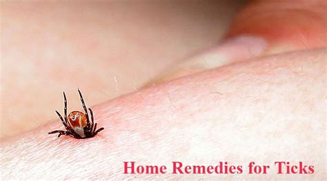 home remedies for ticks home remedies for ticks pest