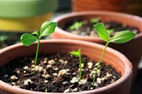 terriccio per limoni in vaso terriccio per agrumi piante da frutta tipo di terreno