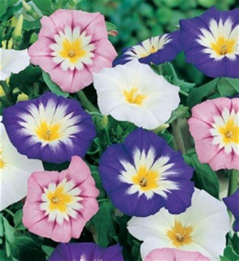 di giorno fiore bustina semi di convolvolo di giorno