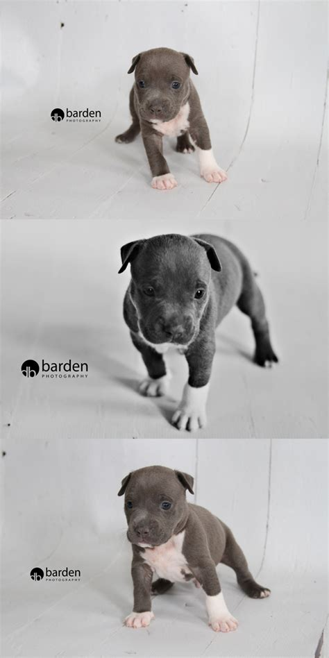 4 week pitbull puppy 4 week pitbull puppies widescreen hd wallpapers desktop wallpapers page 2 of 4